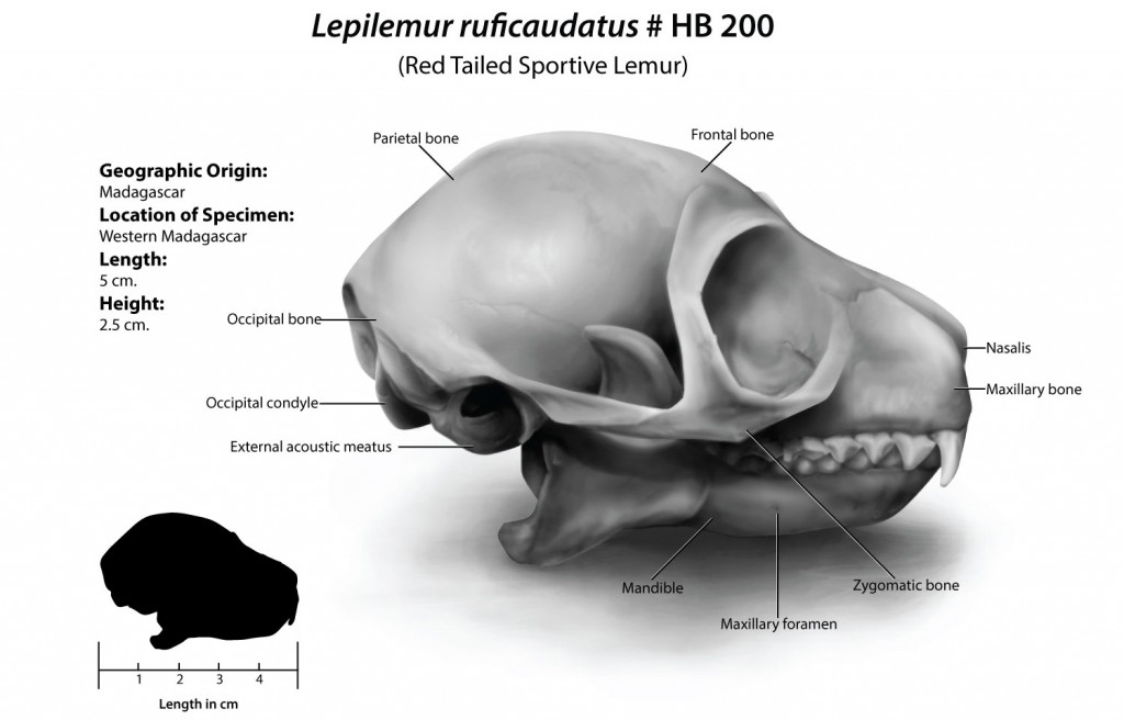 Black and white shaded illustration of a Red Tailed Lemur Skull. Includes labels for major anatomical landmarks, and a silhouette to scale, of the size of the skull.