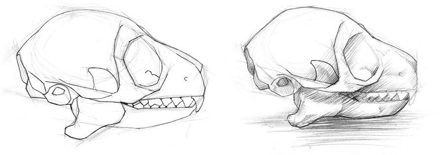 Two graphite sketches for final illustration of the Red Tailed Lemur skull.