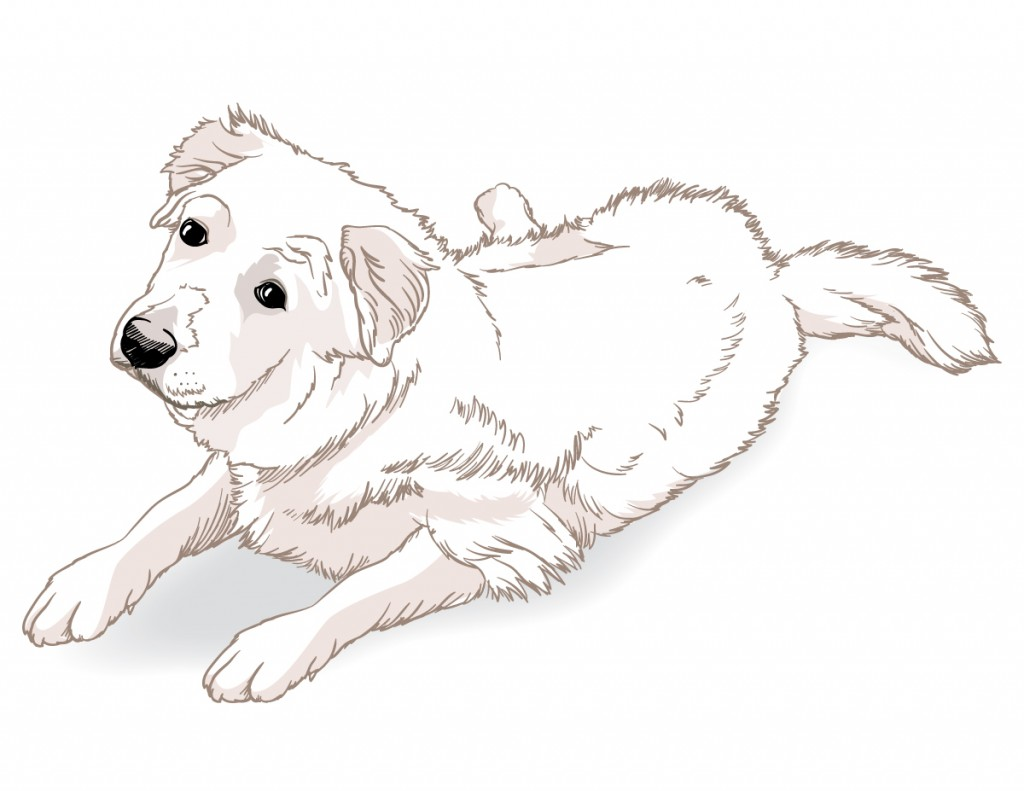 Fast color sketch. Line and few fills. Nine month old Great Pyrenees Puppy.