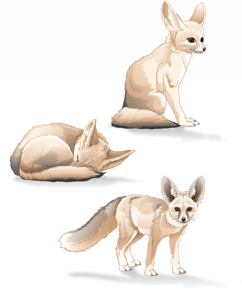Fennec Fox study. Adobe Illustrator. October 2016.